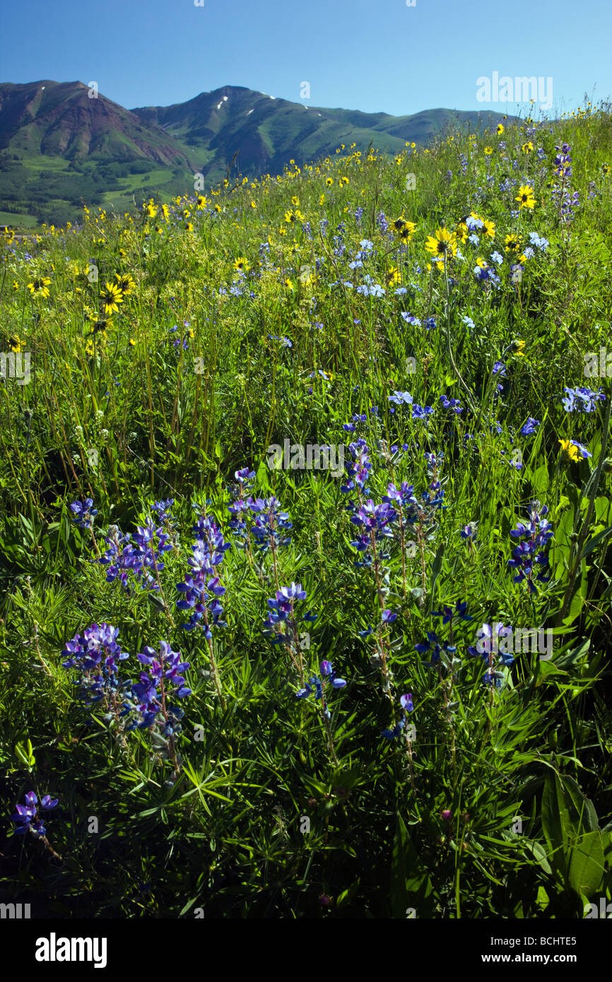 Wildflowers including Blue Flax Linum lewisii Linaceae Lupine and Aspen Sunflowers near Mount Crested Butte Colorado - Stock Image