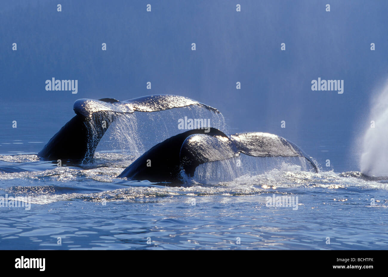 Humpback Whales Sounding Windham Bay SE Alaska Summer Stephens Passage - Stock Image