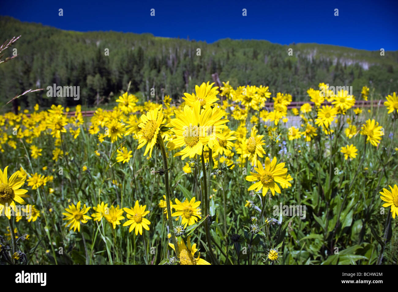 Mules Ear Aspen Sunflowers below Snodgrass Mountain near Washington Gulch Mount Crested Butte Colorado USA - Stock Image