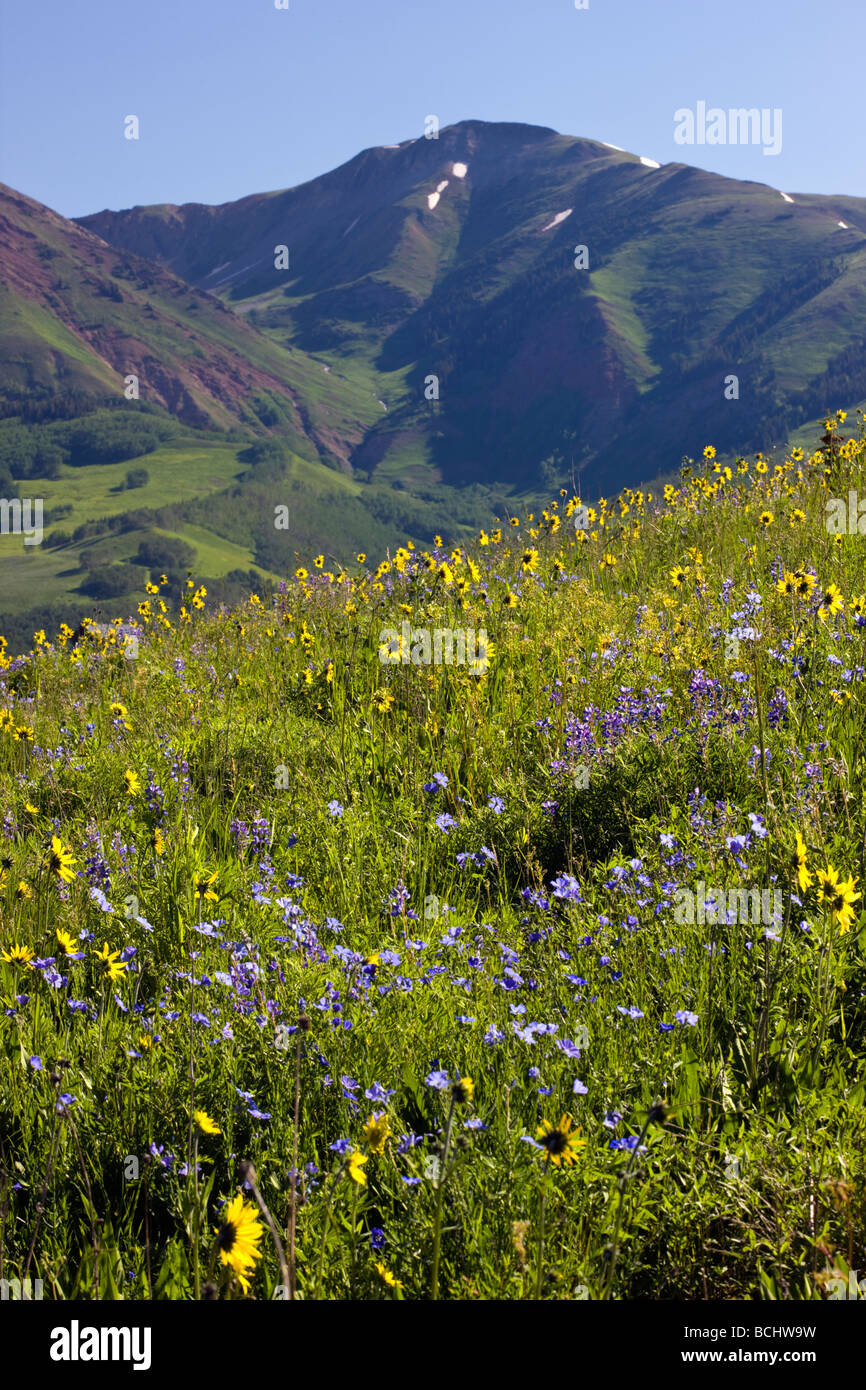 asture full of wildflowers including Mule Ears Sunflower family Lupine and Blue Flax near Mount Crested Butte Colorado - Stock Image