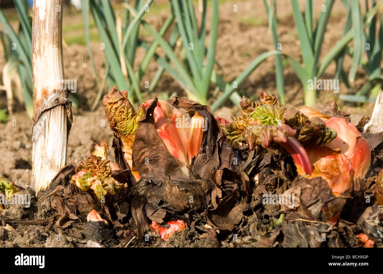 rhubarb rhizomes growing in early spring - Stock Image