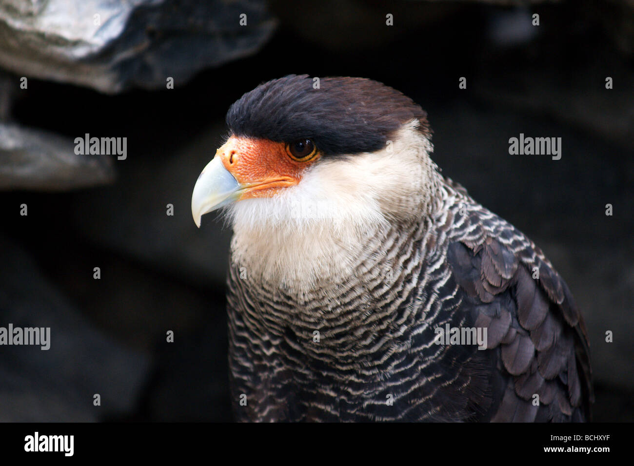 Crested Caracara. Close up of adult. - Stock Image