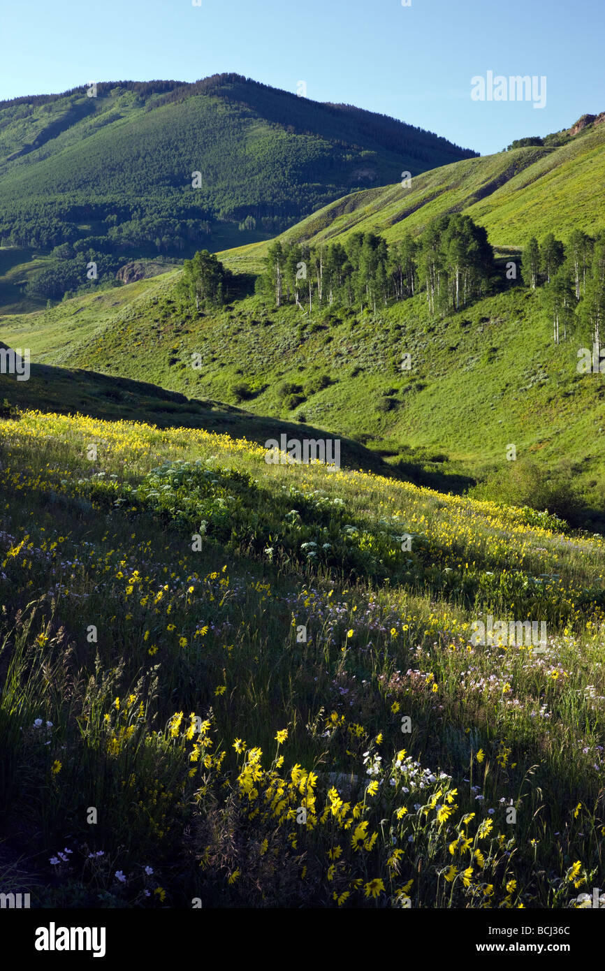 Wildflowers including Blue Flax, Lupine and Aspen Sunflowers grow along Washington Gulch near Mount Crested Butte - Stock Image