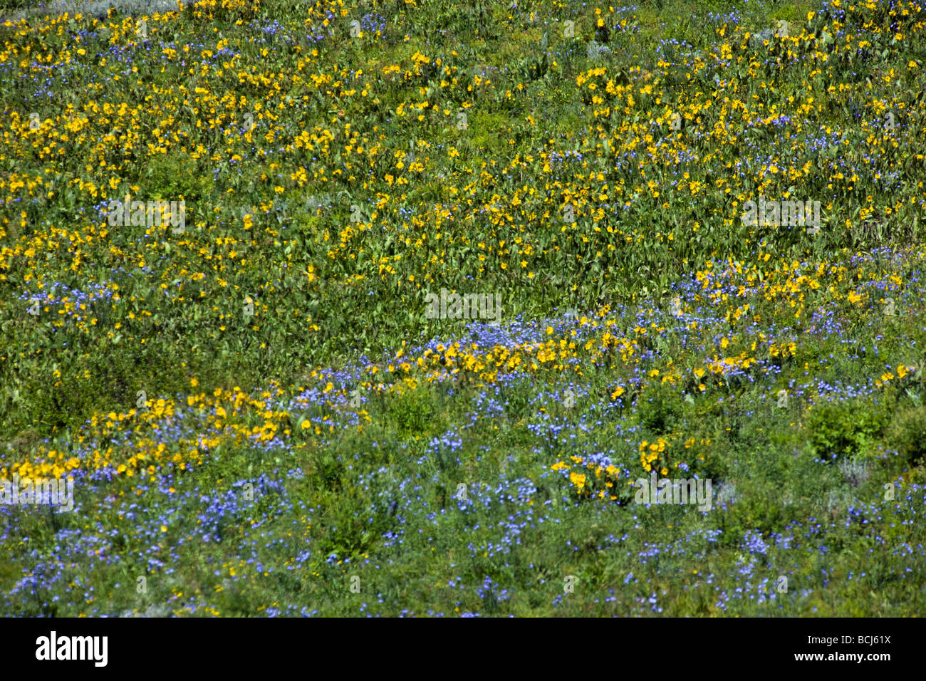 Mules Ear Aspen Sunflowers and Blue Flax below Snodgrass Mountain near Mount Crested Butte Colorado USA Stock Photo