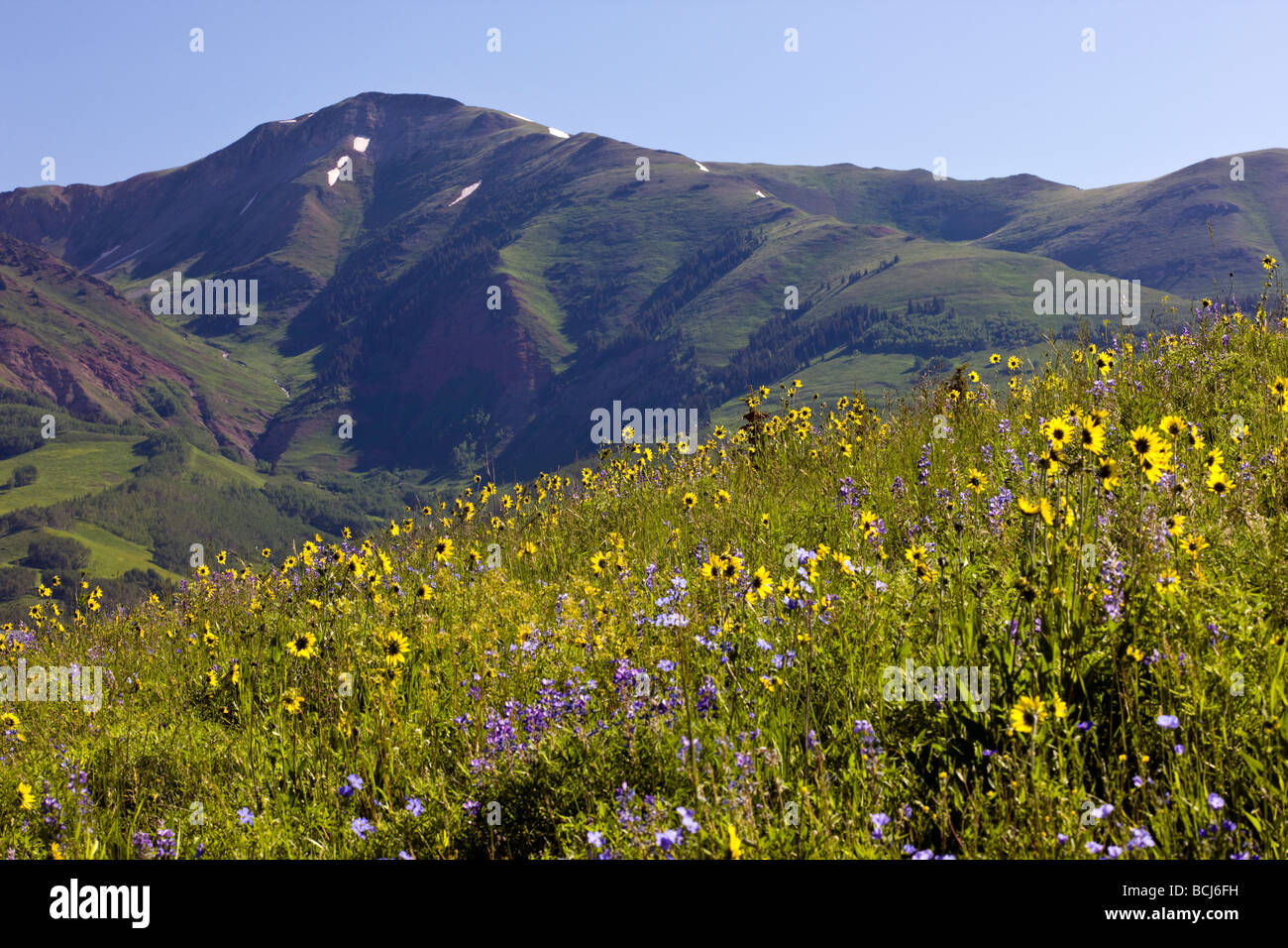 Wildflowers including Blue Flax Linum lewisii Linaceae Lupine and Aspen Sunflowers near Mount Crested Butte Colorado Stock Photo