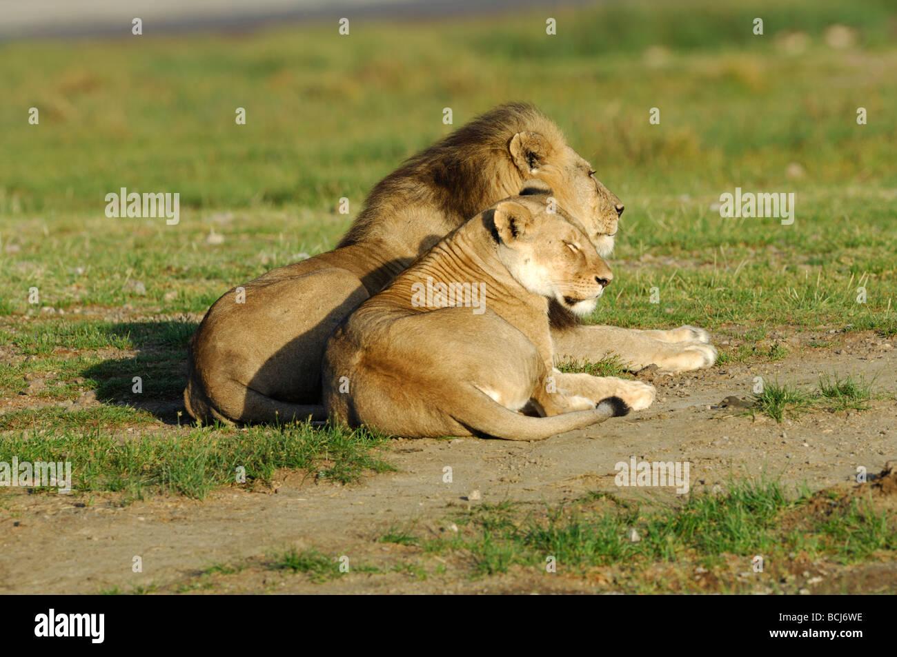 Stock photo of a male and female lion laying together, Ndutu, Ngorongoro Conservation Area, Tanzania, February 2009. - Stock Image