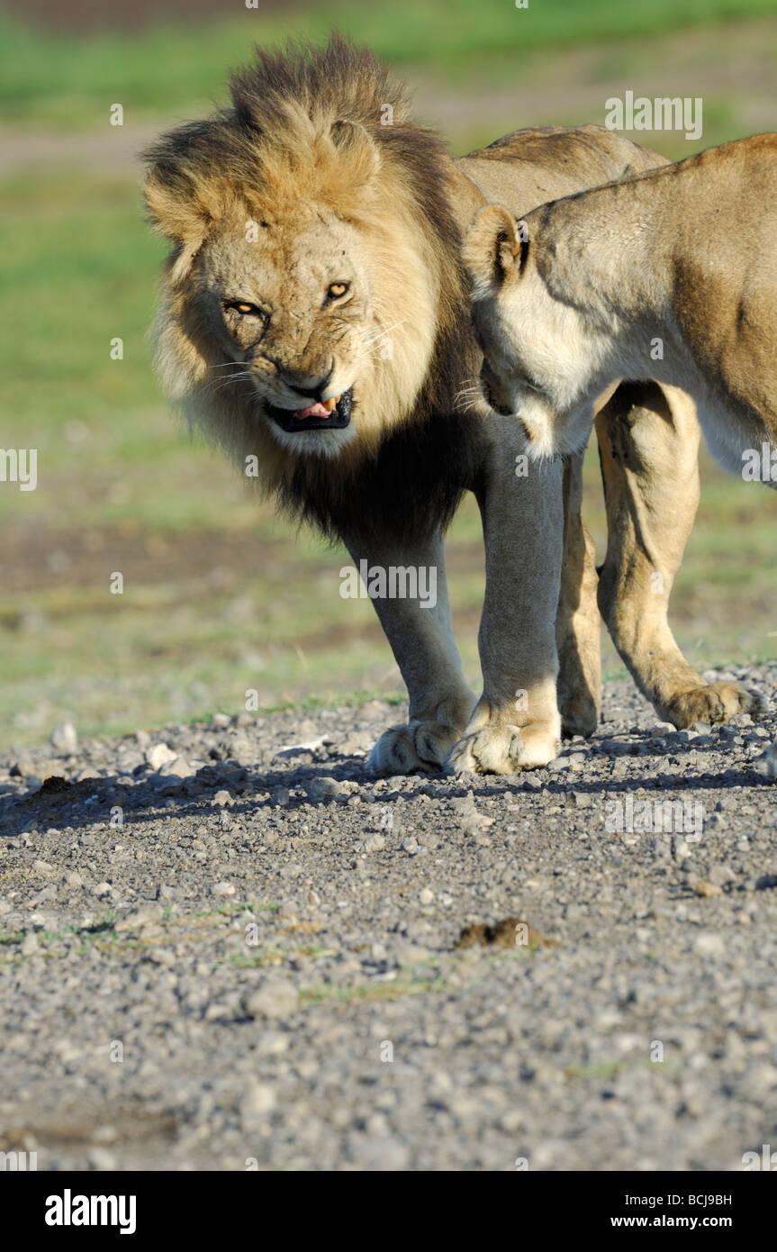 Stock photo of a lion and lioness pair, Ndutu, Tanzania, February 2009. - Stock Image