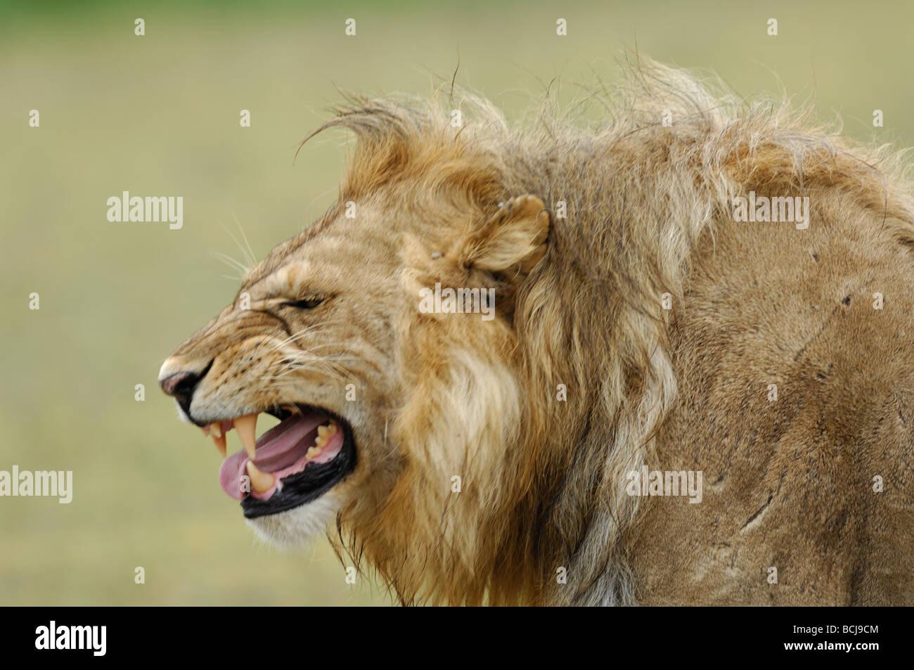 Lion displaying breeding grimace, Ndutu, Tanzania, February, 2009. - Stock Image