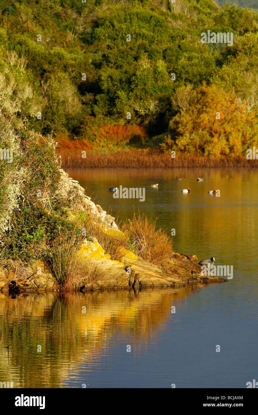 Coot resting in lagoon S albufera des Grau Menorca island Spain Stock Photo
