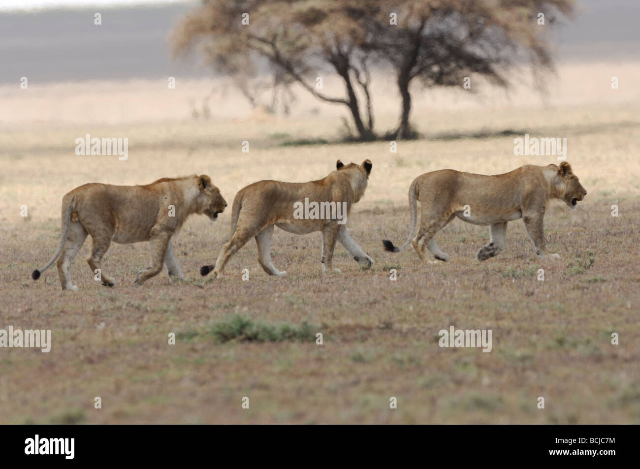 Stock photo of lions walking across a dry, barren plain, Serengeti National Park, Tanzania, February 2009. - Stock Image