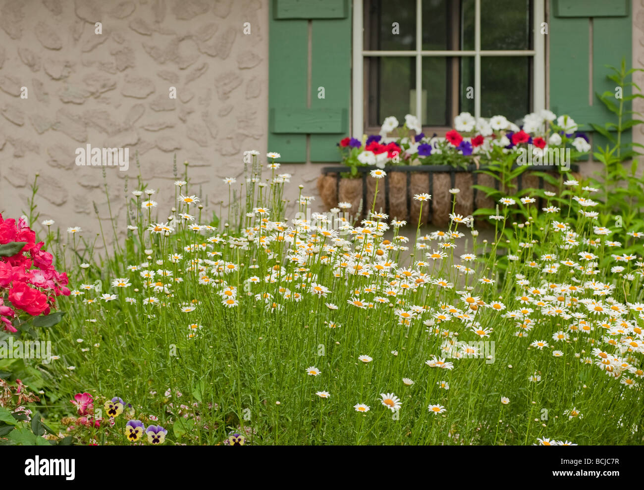 a garden with shasta daisies in front of a window in the garden shed - Stock Image