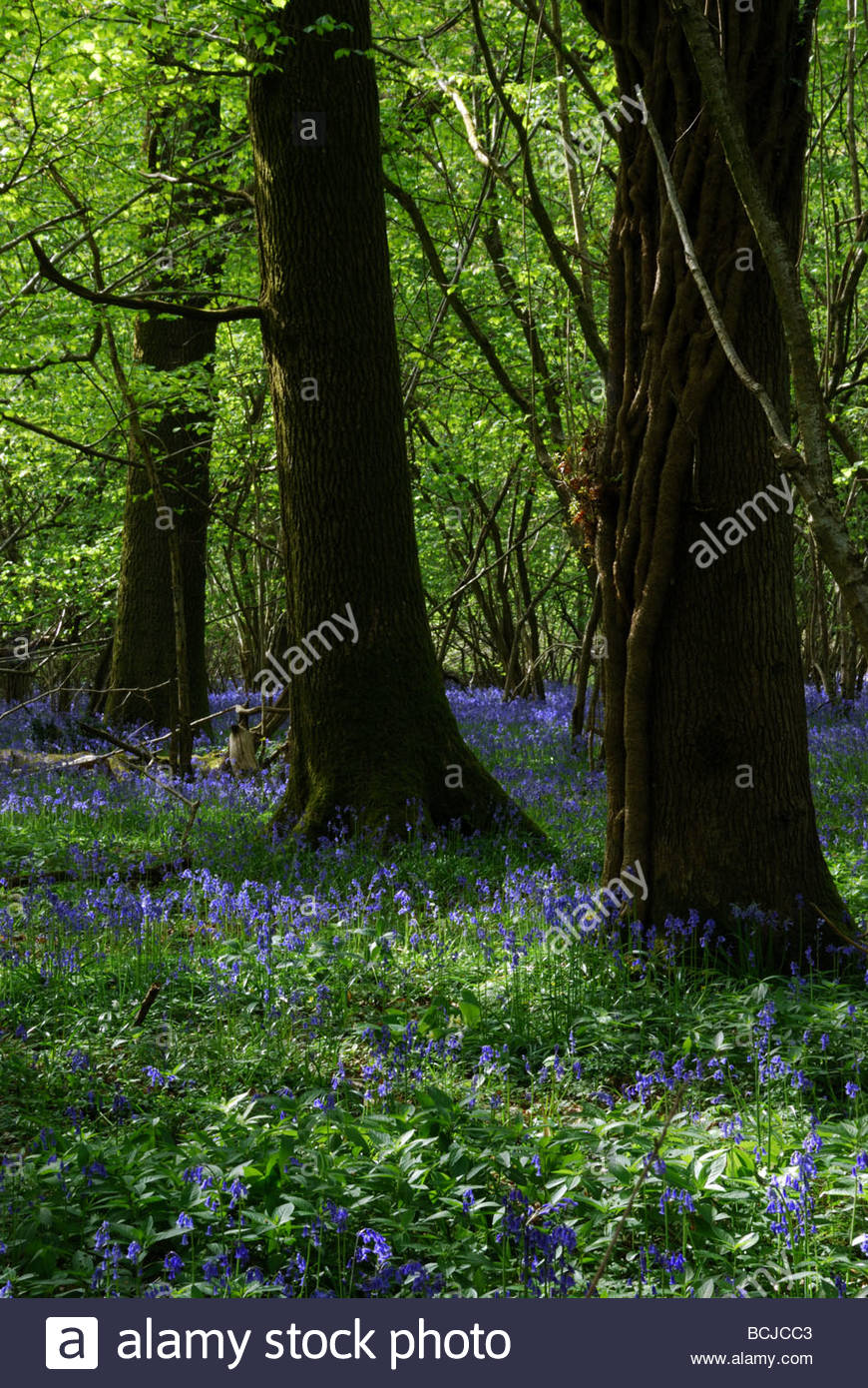 Colourful bluebells in Garston Woods on the border of Dorset and Wiltshire, England, UK - Stock Image