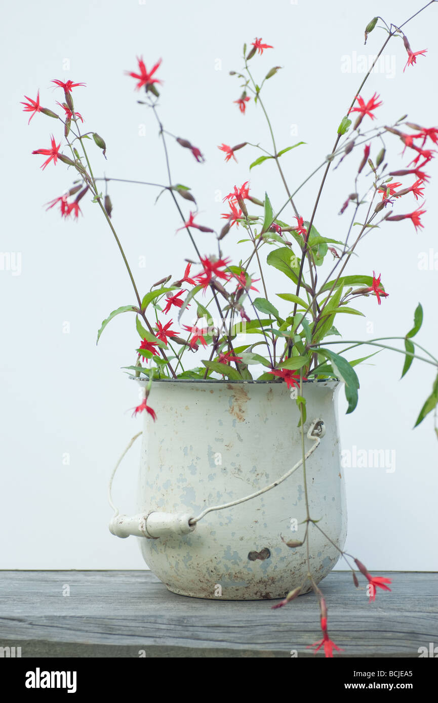 Silene virginica or fire pink wild flowers in an antique pot isolated on white - Stock Image