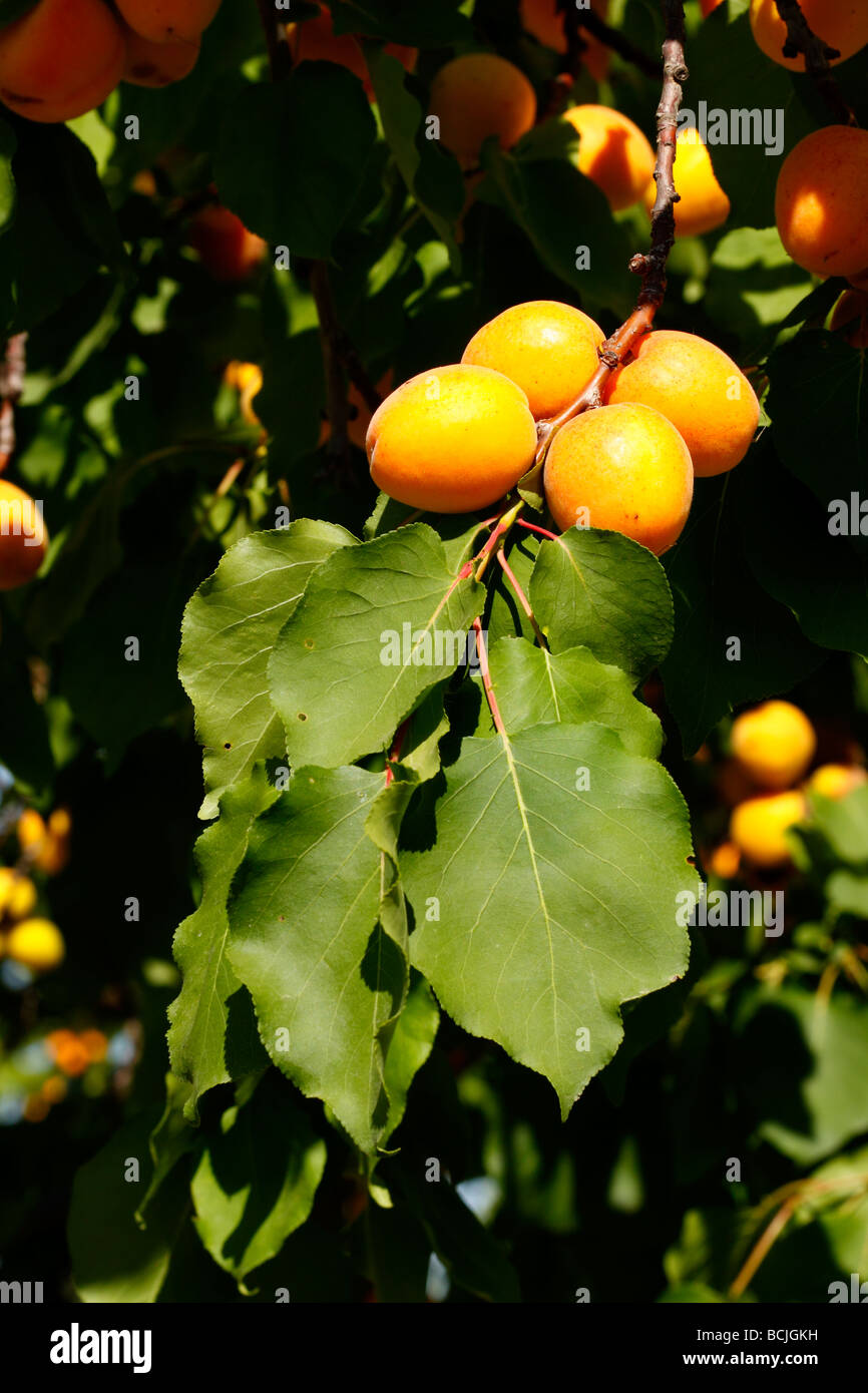 Details of fruits and leaves of apricot Alicante Spain - Stock Image