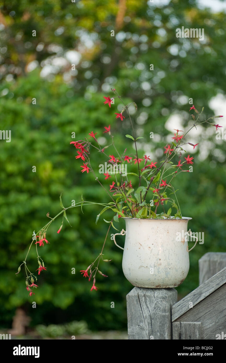 Silene virginica or fire pink wild flowers in an antique pot sitting on deck railing outside with greenery behind - Stock Image