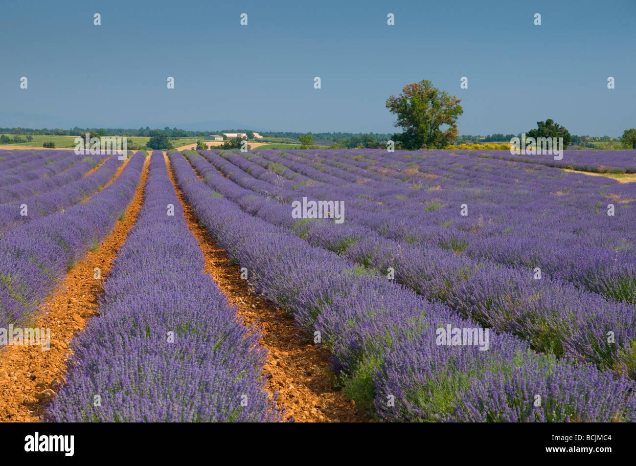 France, Provence-Alpes-Cote d'Azur, Alpes-de-Haute-Provence, Valensole, Lavendar Fields - Stock Image