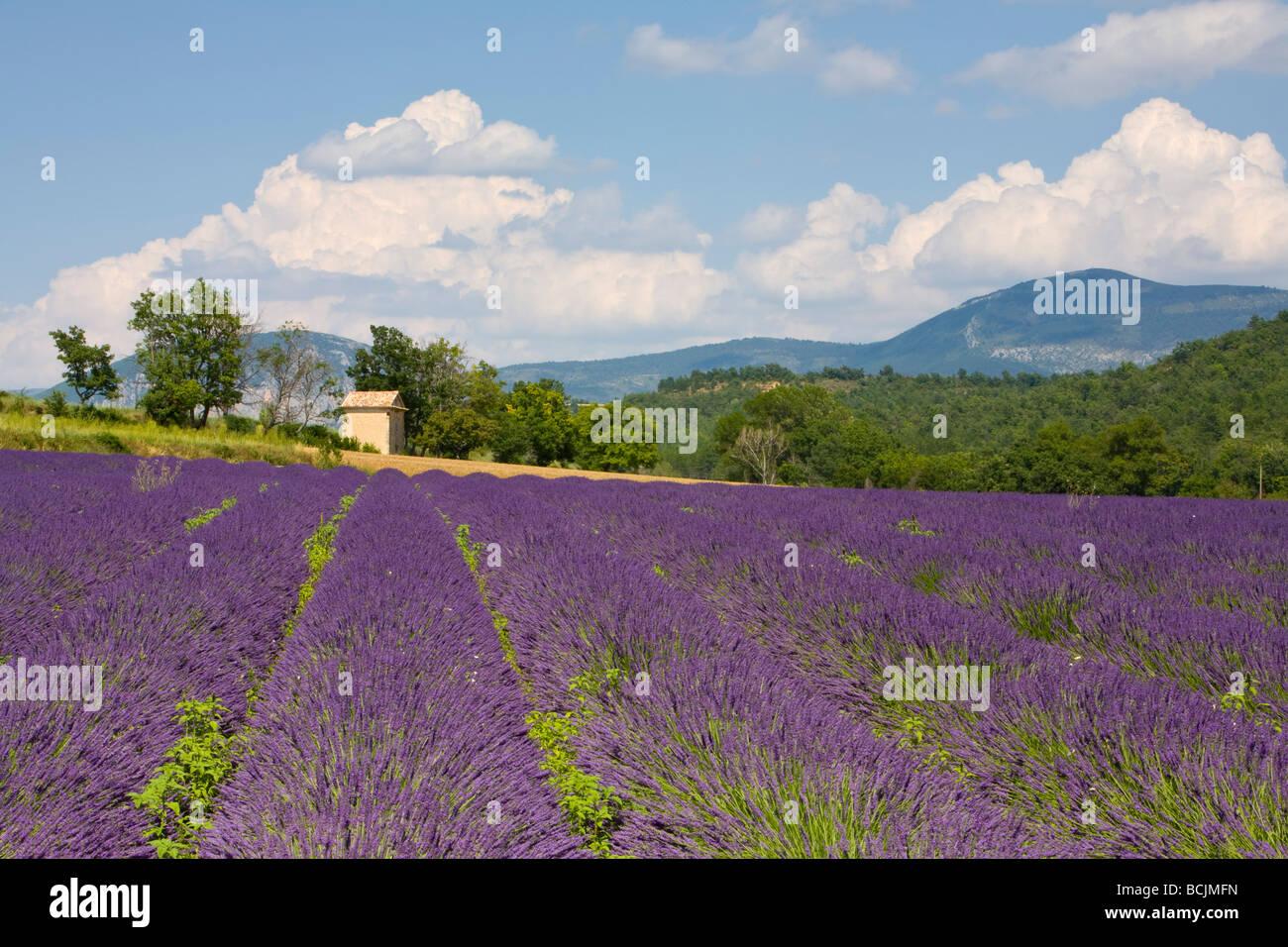 Lavender Field, Provence-Alpes-Cote d'Azur, France, RF - Stock Image