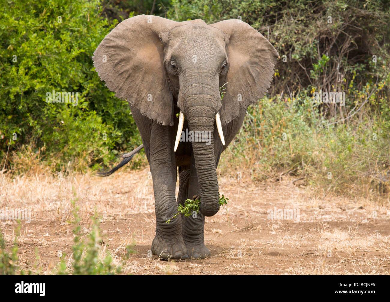 Loxodonta africana (Elephant), Lake Manyara National Park, Tanzania Stock Photo