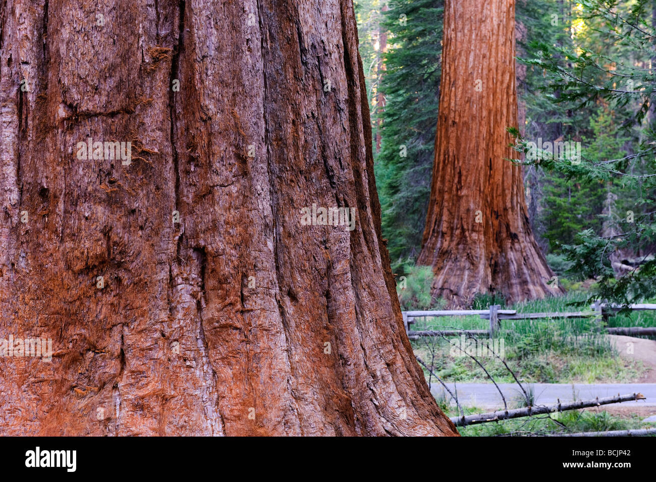 USA, California, Yosemite National Park, Mariposa Grove, Giant Sequoias Stock Photo