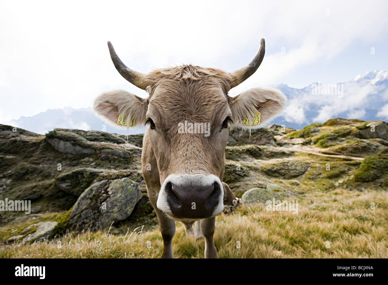 Cow in a swiss field - Stock Image