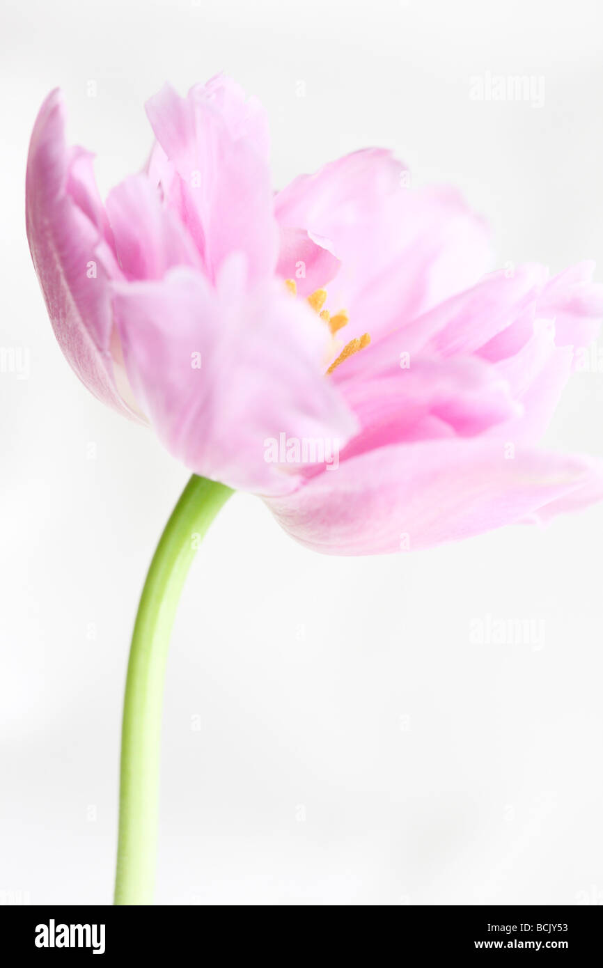 lilac perfection tulip portrait freeflowing and ethereal fine art photography Jane Ann Butler Photography JABP392 Stock Photo
