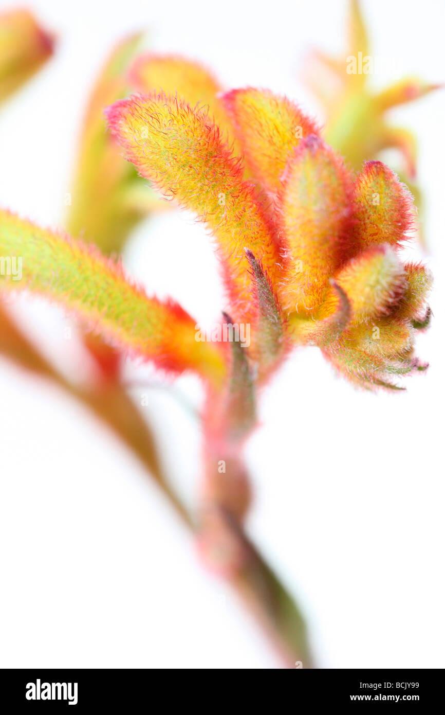 fresh and minimal image of Kangaroo Paw fine art photography Jane Ann Butler Photography JABP398 - Stock Image