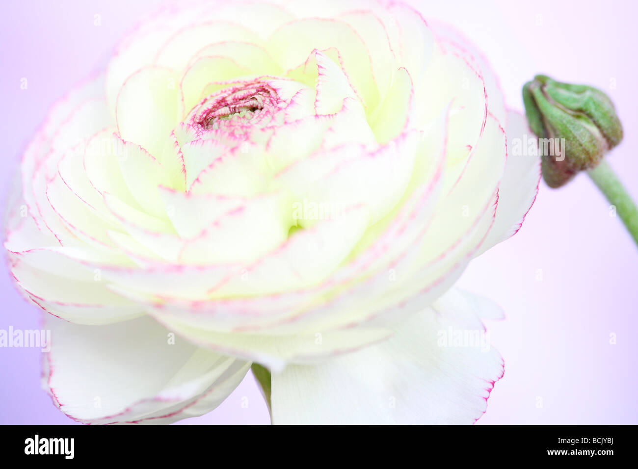 beautiful white ranunculus with dark pink tipped petals and bud fine art photography Jane Ann Butler Photography Stock Photo