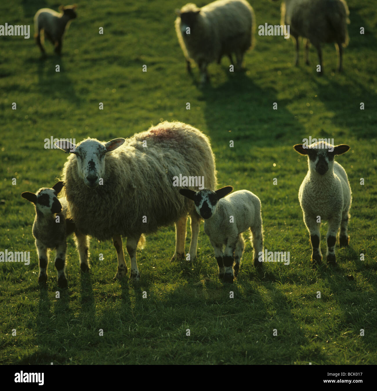 Scottish mule ewe with three lambs backlit by evening sunshine - Stock Image