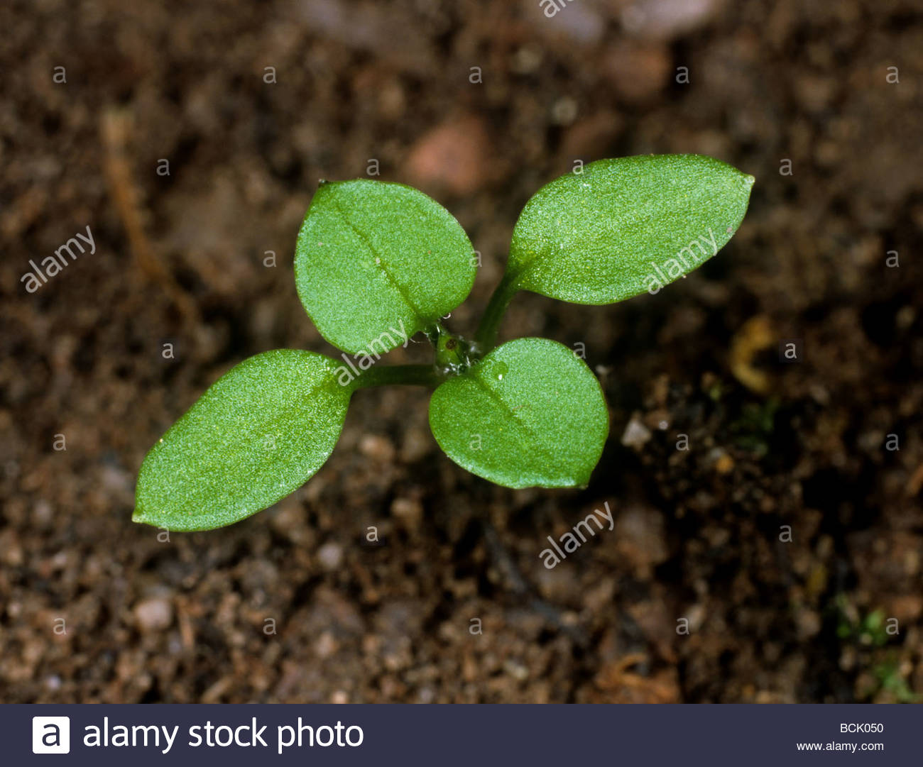 Chickweed Stellaria media seedling with two true leaves forming Stock Photo