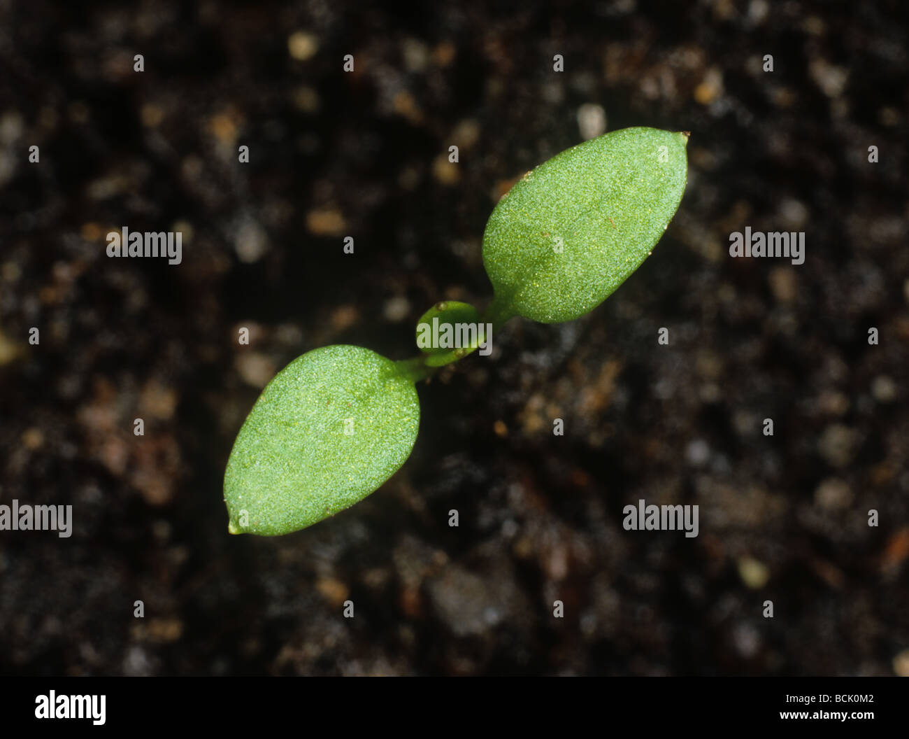 Chickweed Stellaria media seedling with cotyledon leaves only - Stock Image