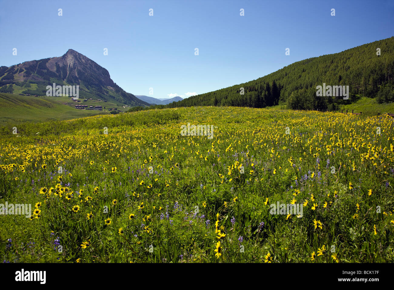 View from Snodgrass Mountain of a pasture full of wildflowers including Mule Ears & Blue Flax near Mount Crested - Stock Image