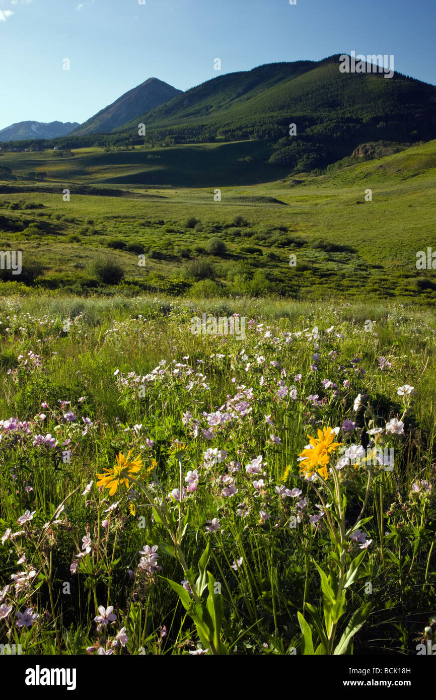 Wildflowers including Blue Flax and Mules Ear Sunflower family grow along Washington Gulch near Mount Crested Butte - Stock Image