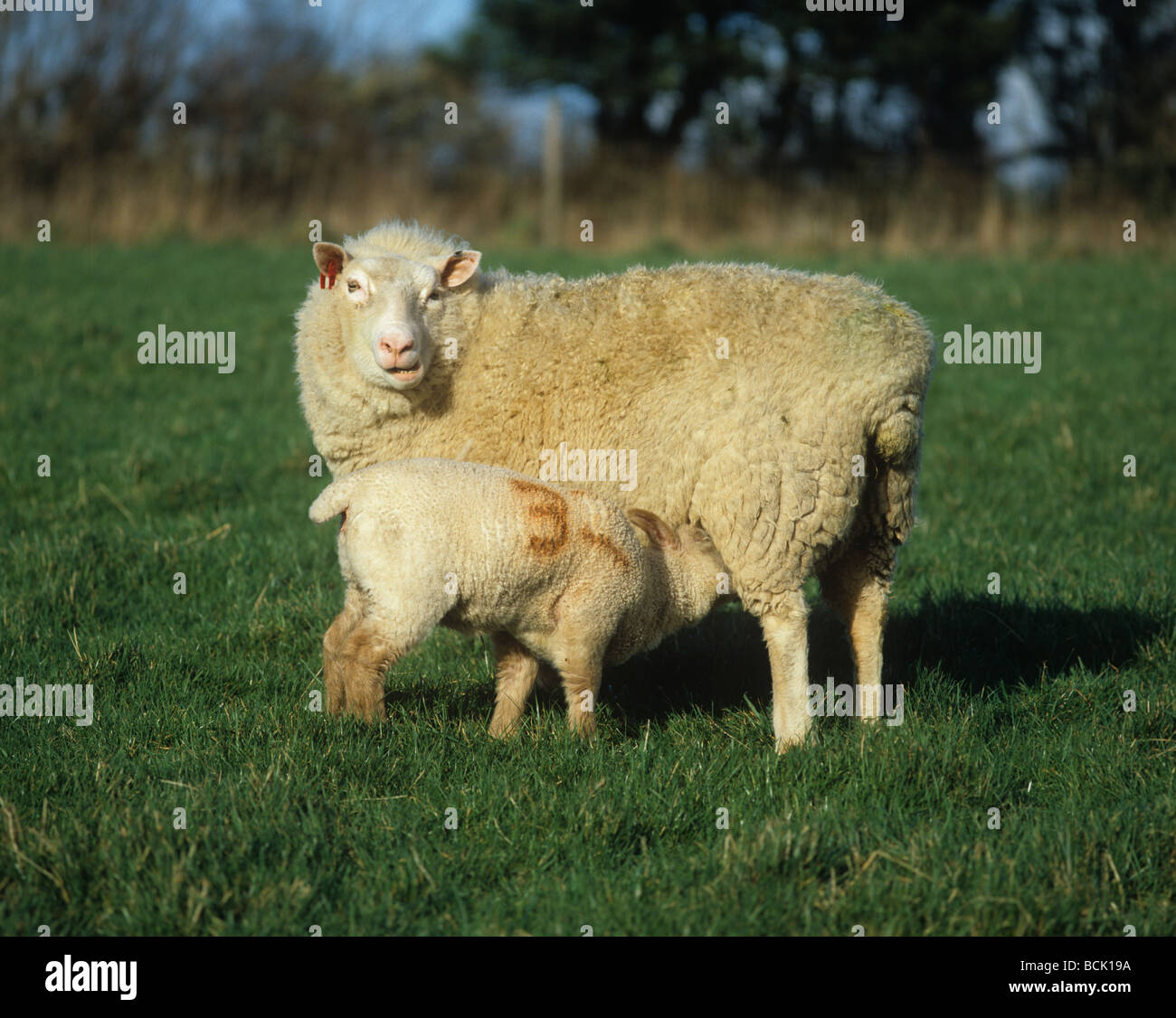 Rouge de L Ouest X ewe with suckling her lamb - Stock Image