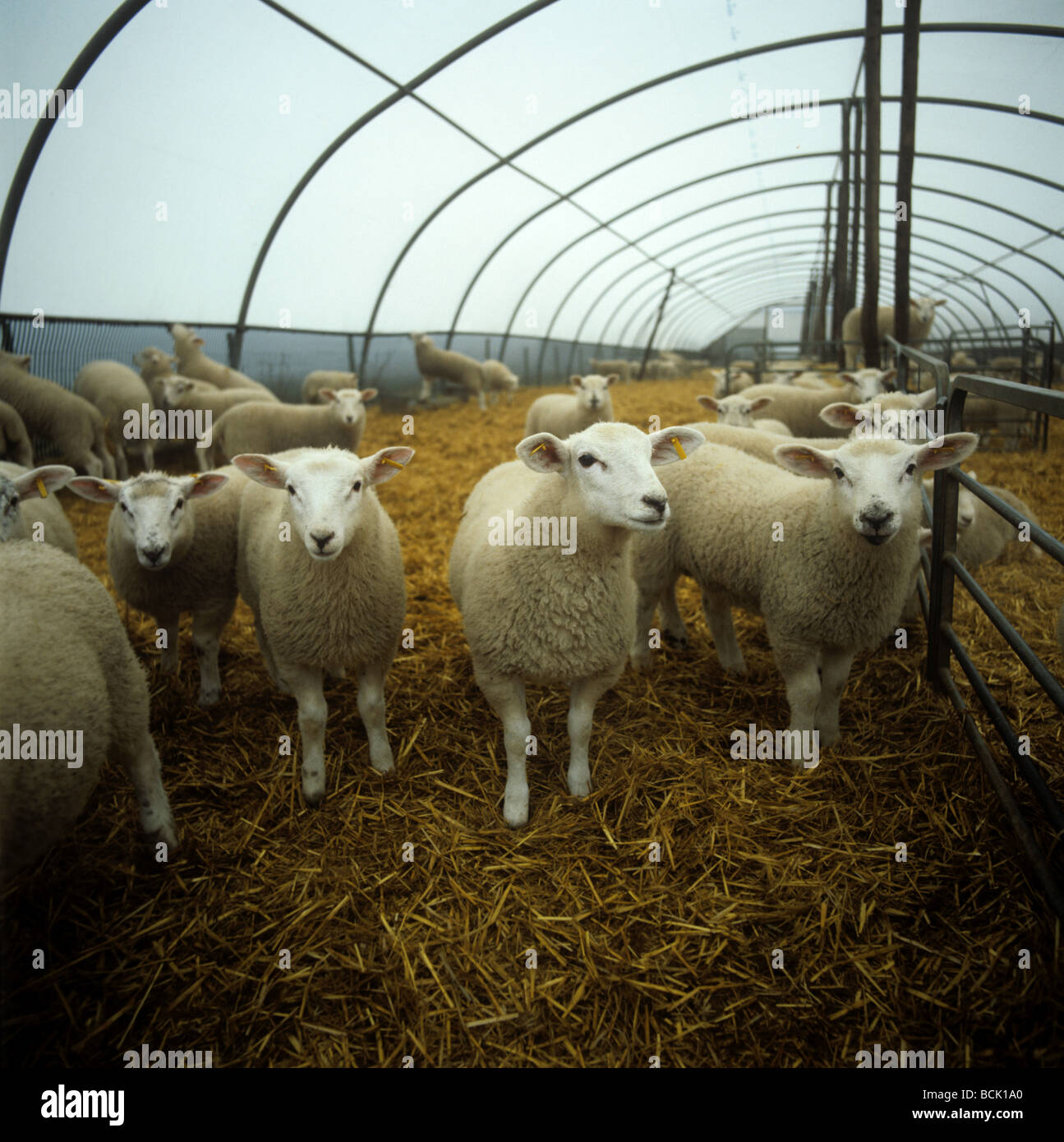 Texel cross lambs in straw bedded polythene tunnel Herefordshire - Stock Image