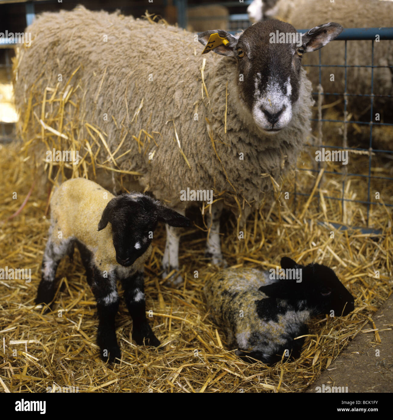 North of England mule ewe with her twin lambs just after giving birth - Stock Image