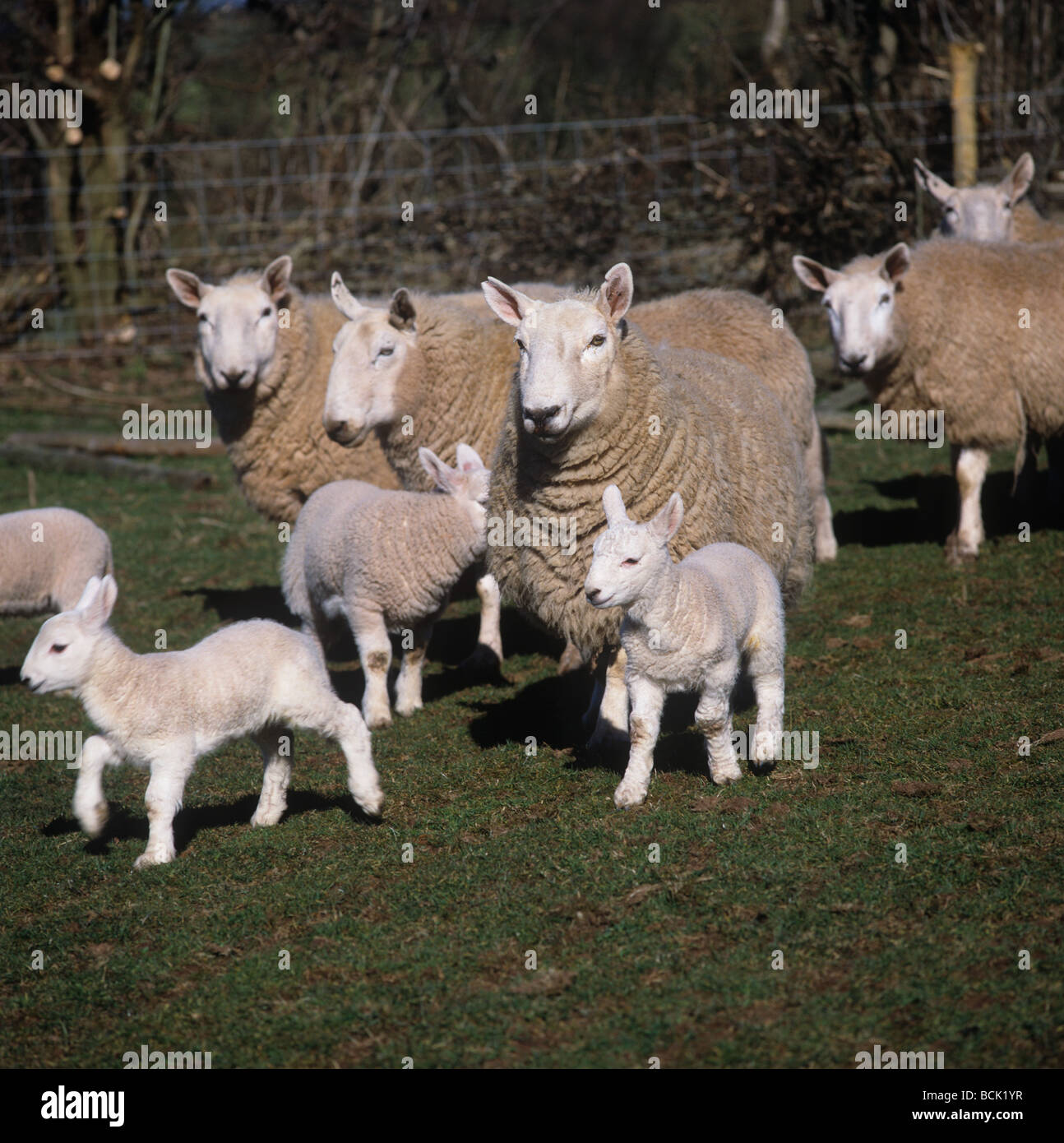 Cheviot ewes and lambs on a fine late winter day in Hay on Wye - Stock Image