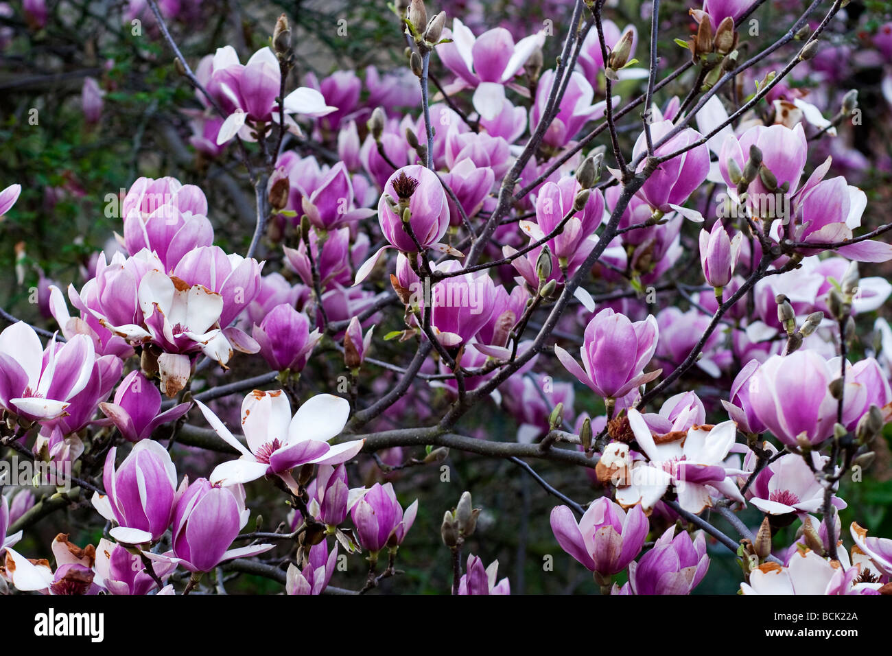 Saucer Magnolia Tree Also Known As Tulip Tree Stock Photo 25004962