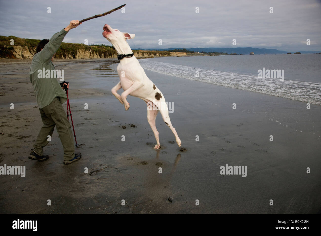 Owner preparing to throw stick for Great Dane. - Stock Image