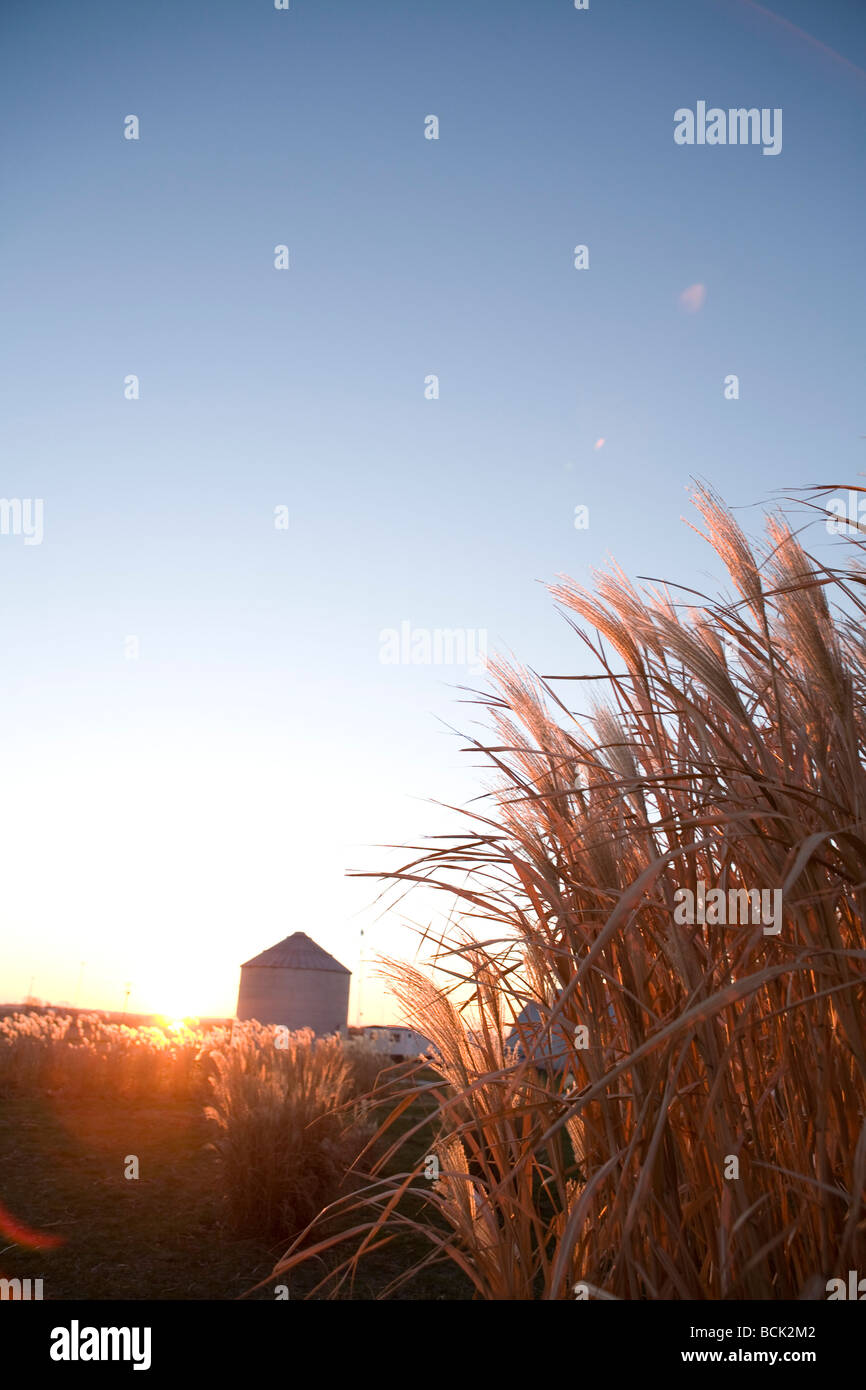 miscanthus giganteus grass grown for biofuel - Stock Image