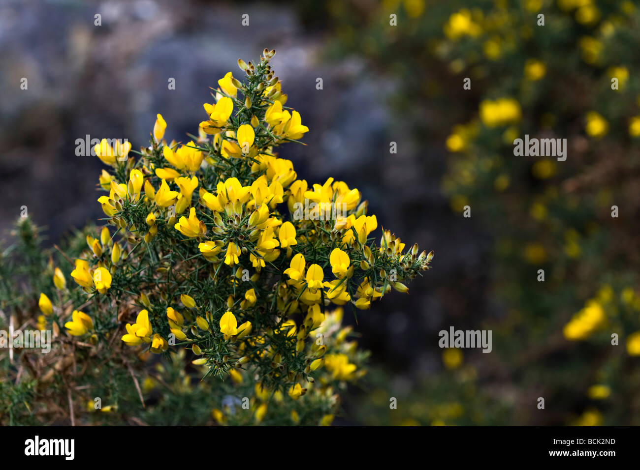 Yellow flowers of the common gorse bush growing near ardgay stock yellow flowers of the common gorse bush growing near ardgay sutherland scotland in spring mightylinksfo