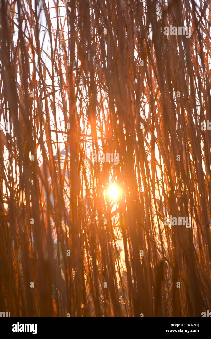 miscanthus giganteus grass grown for biofuel Stock Photo