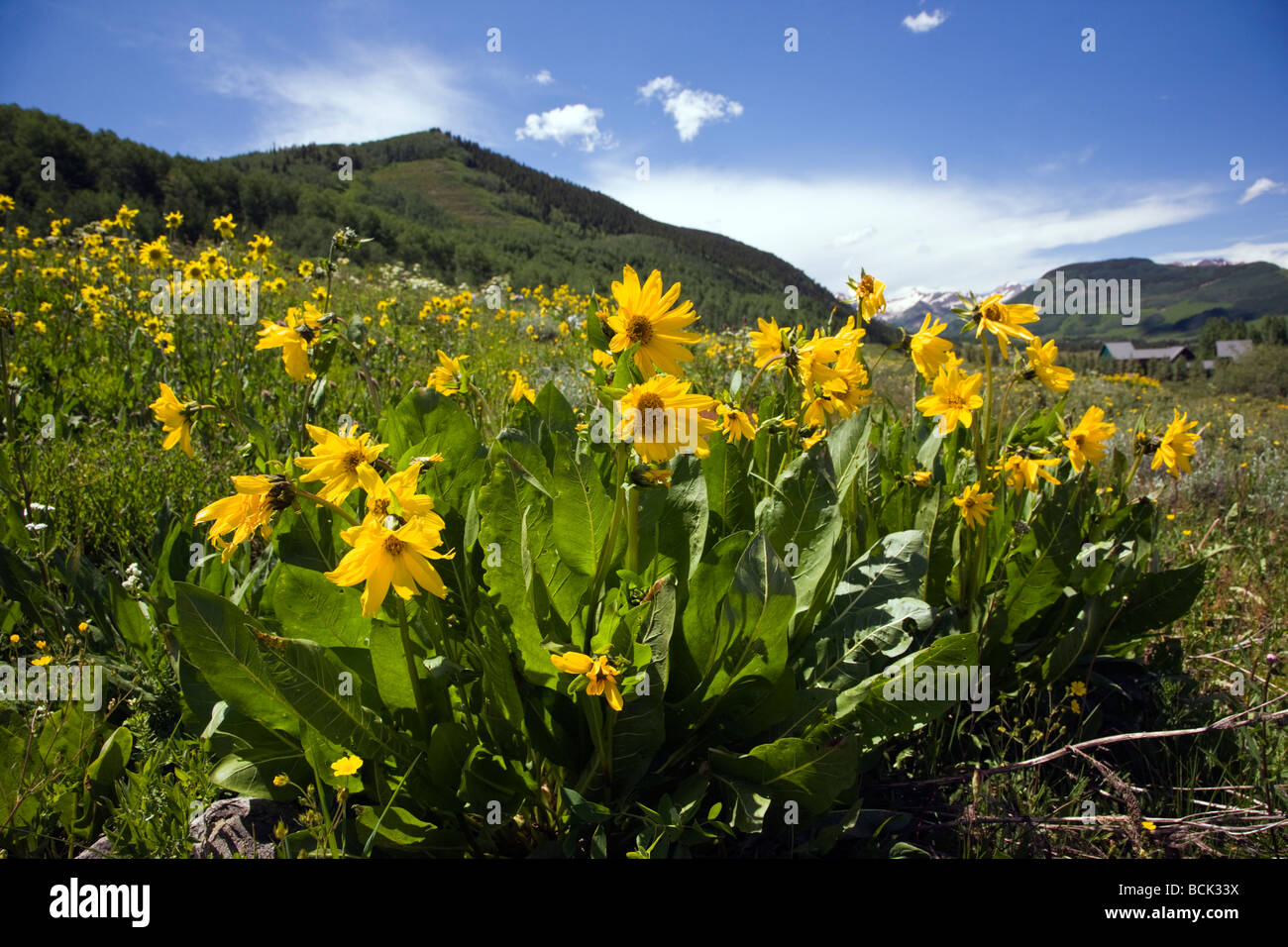 Mule s Ears Asteraceae Sunflower Family grow in a meadow along the Woods Walk Lower Loop Trails Crested Butte Colorado - Stock Image