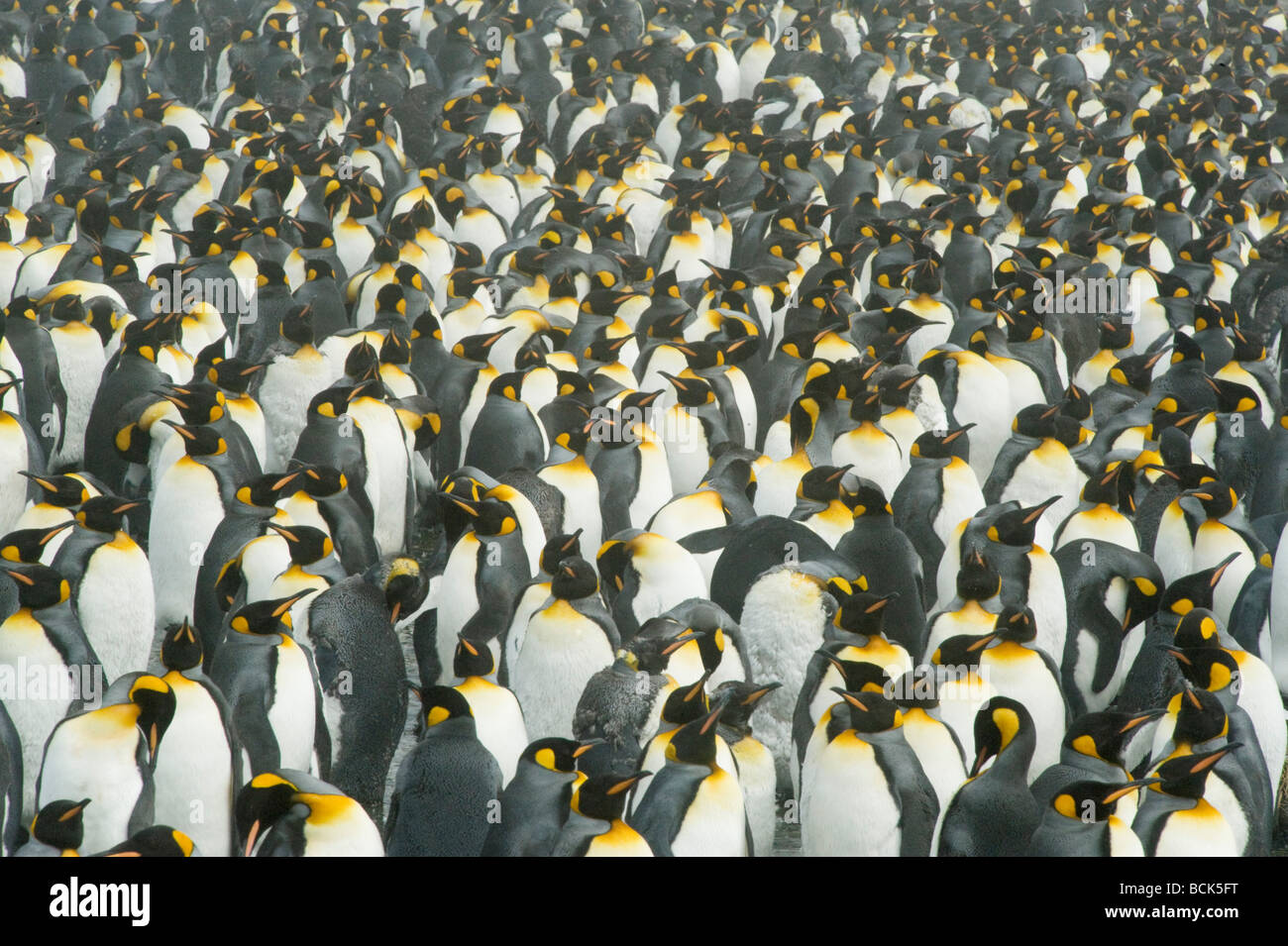 King Penguins (Aptenodytes patagonicus) Molting adults in October, South Georgia - Stock Image