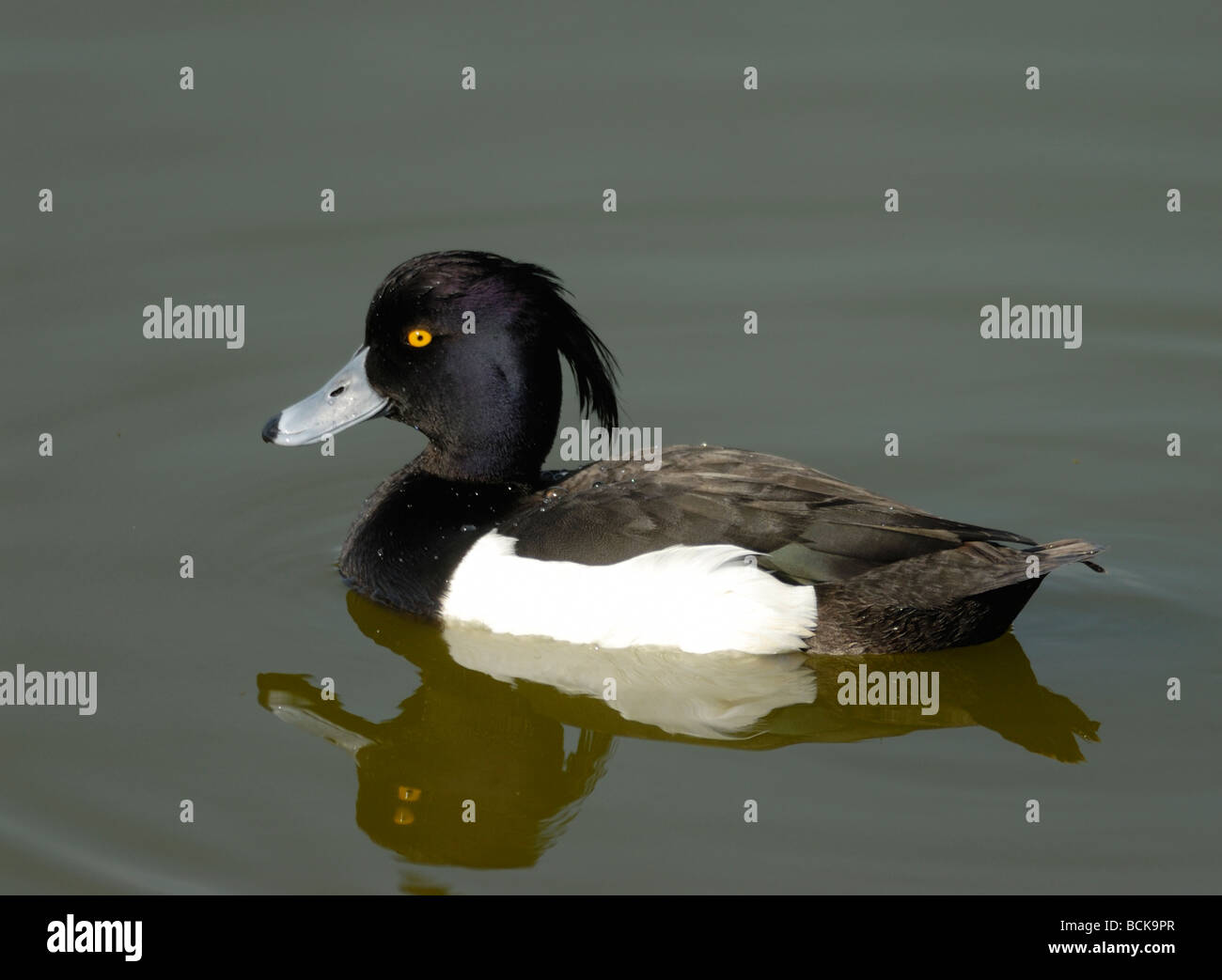 A male Tufted Duck (Aythya fuligula) swimming with its crest clearly displayed. Rye Harbour Nature Reserve. Stock Photo