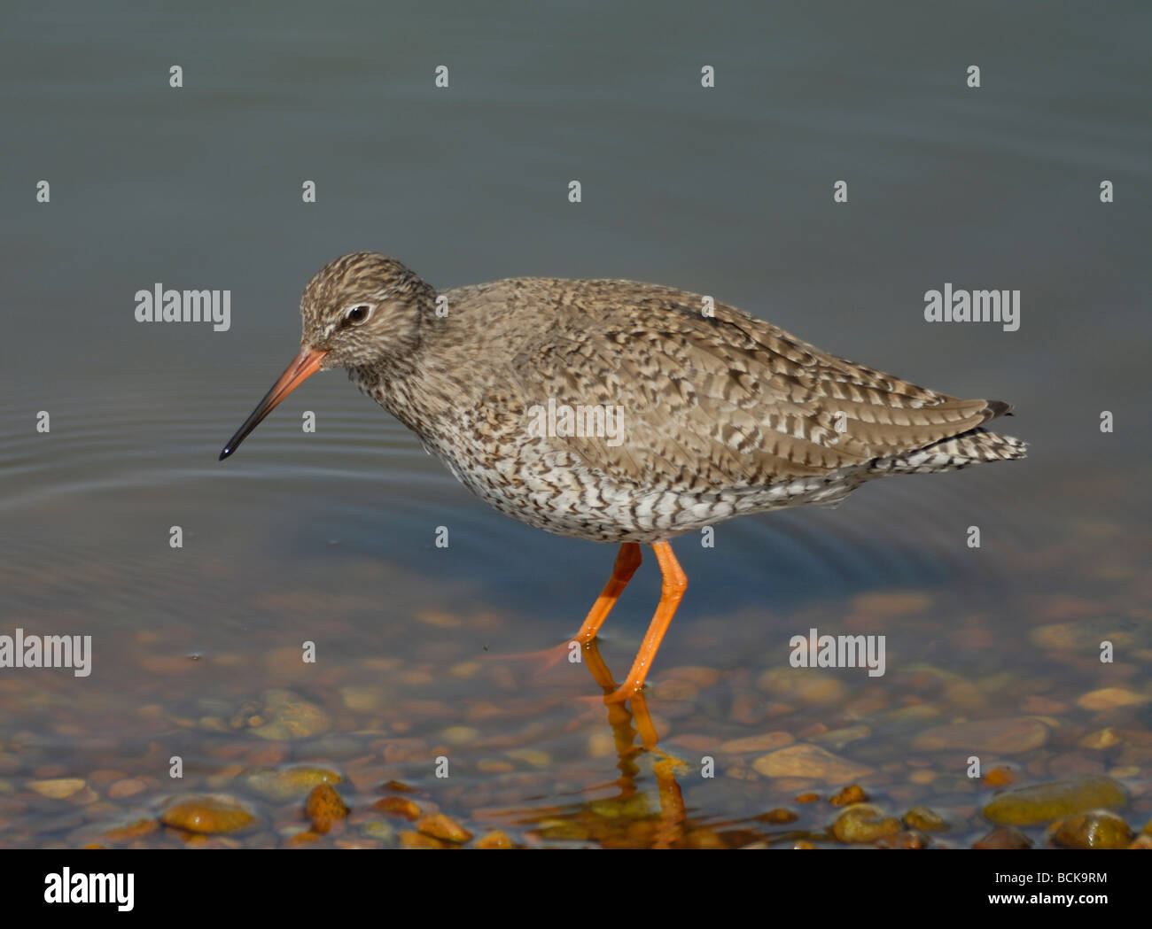 A Redshank (Tringa totanus) standing on the edge of a shallow lake at Rye Harbour Nature Reserve. Stock Photo