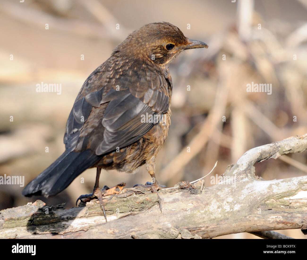 A young blackbird  (Turdus merula) searching for food among driftwood on the banks of the River Aln. Stock Photo