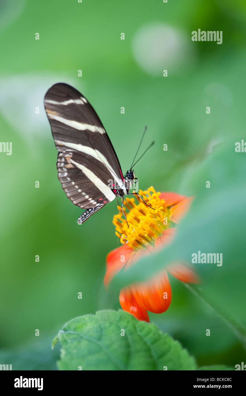 Heliconius charithonia. Zebra longwing butterfly in an english butterfly farm. UK - Stock Image