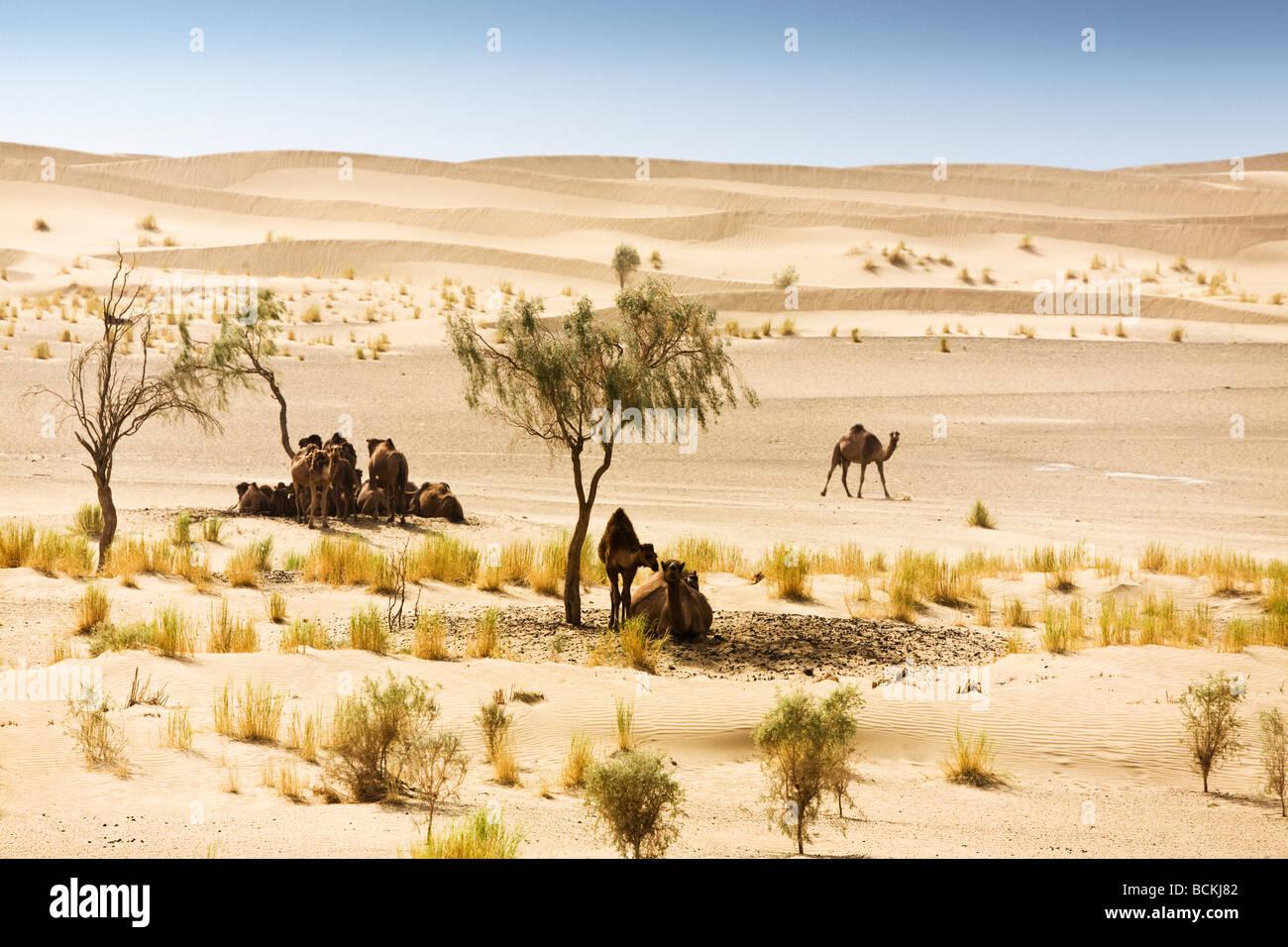 Camels sheltering under trees in desert - Stock Image