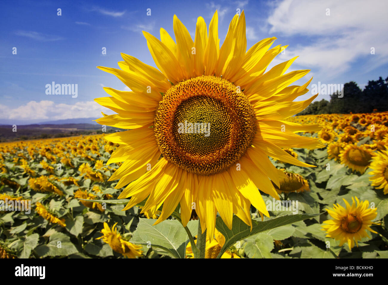 Sunflower in sunflower field with blue sky Stock Photo