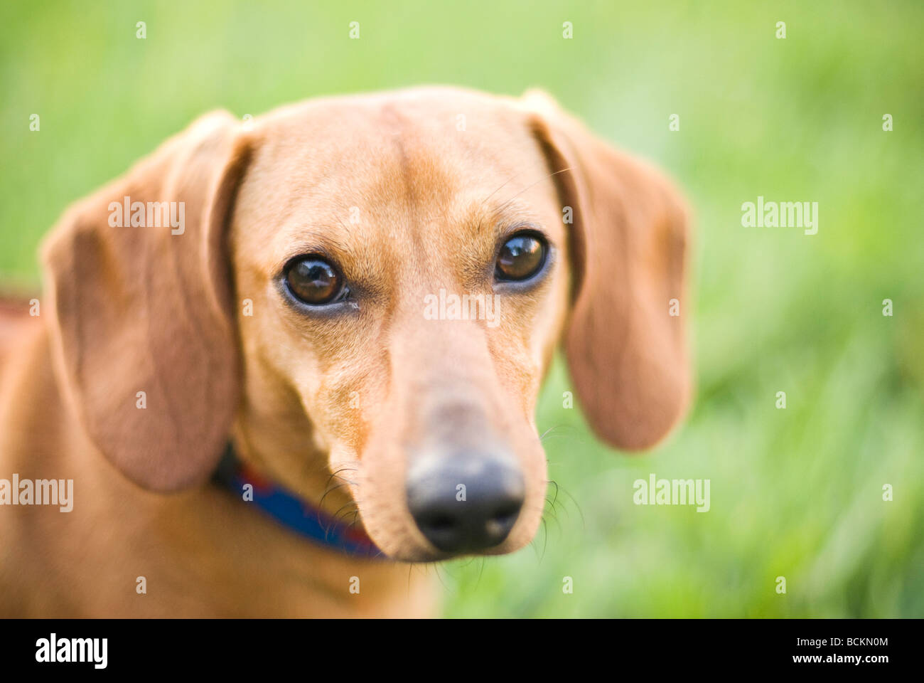 portrait of dachshund dog - Stock Image
